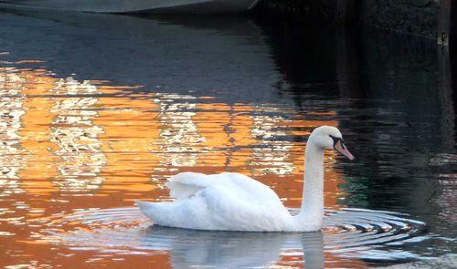 Swan Bathing in the Harbor