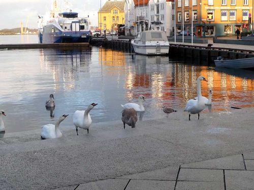 Swans Bathing