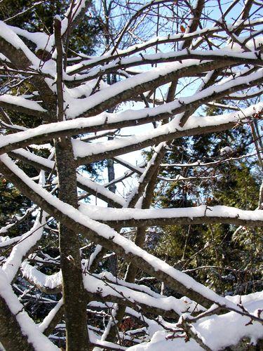 Snowy Tree Closeup