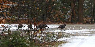 More turkeys