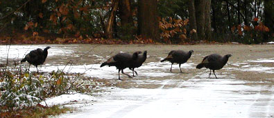 Wild Turkeys Making the Rounds