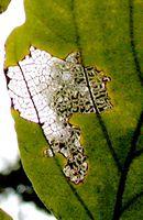 Bug Lace